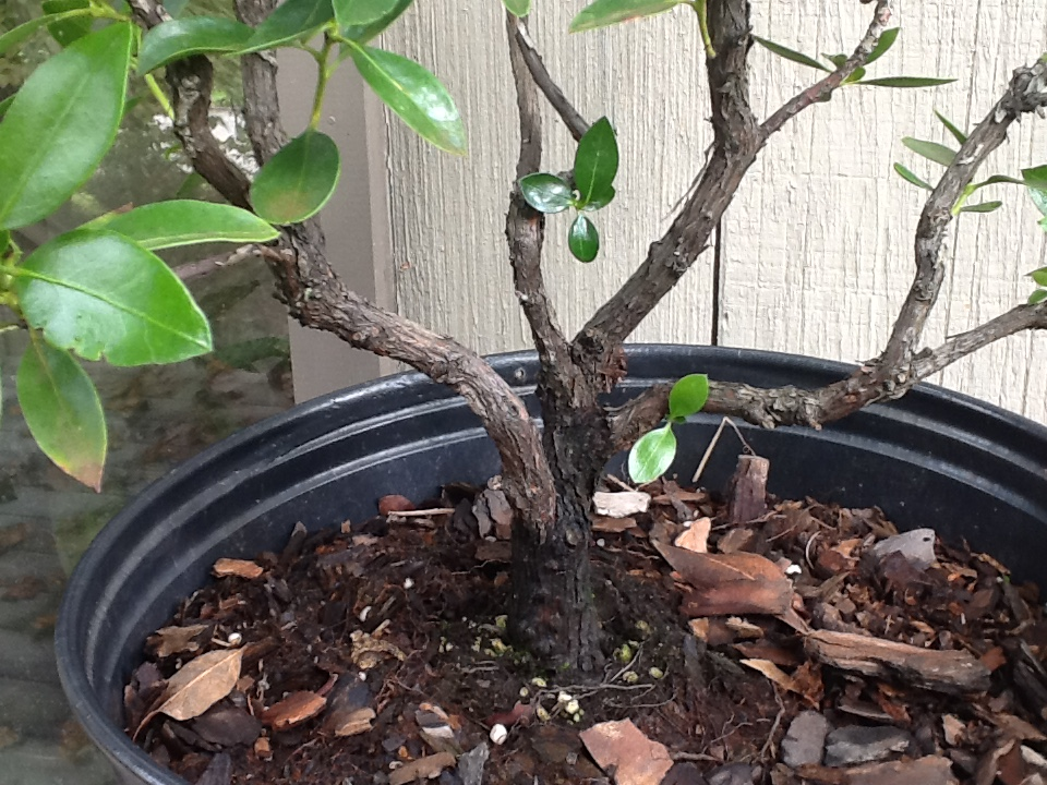 Pruning Mountain Laurel For Bonsai Helpfulgardener Com