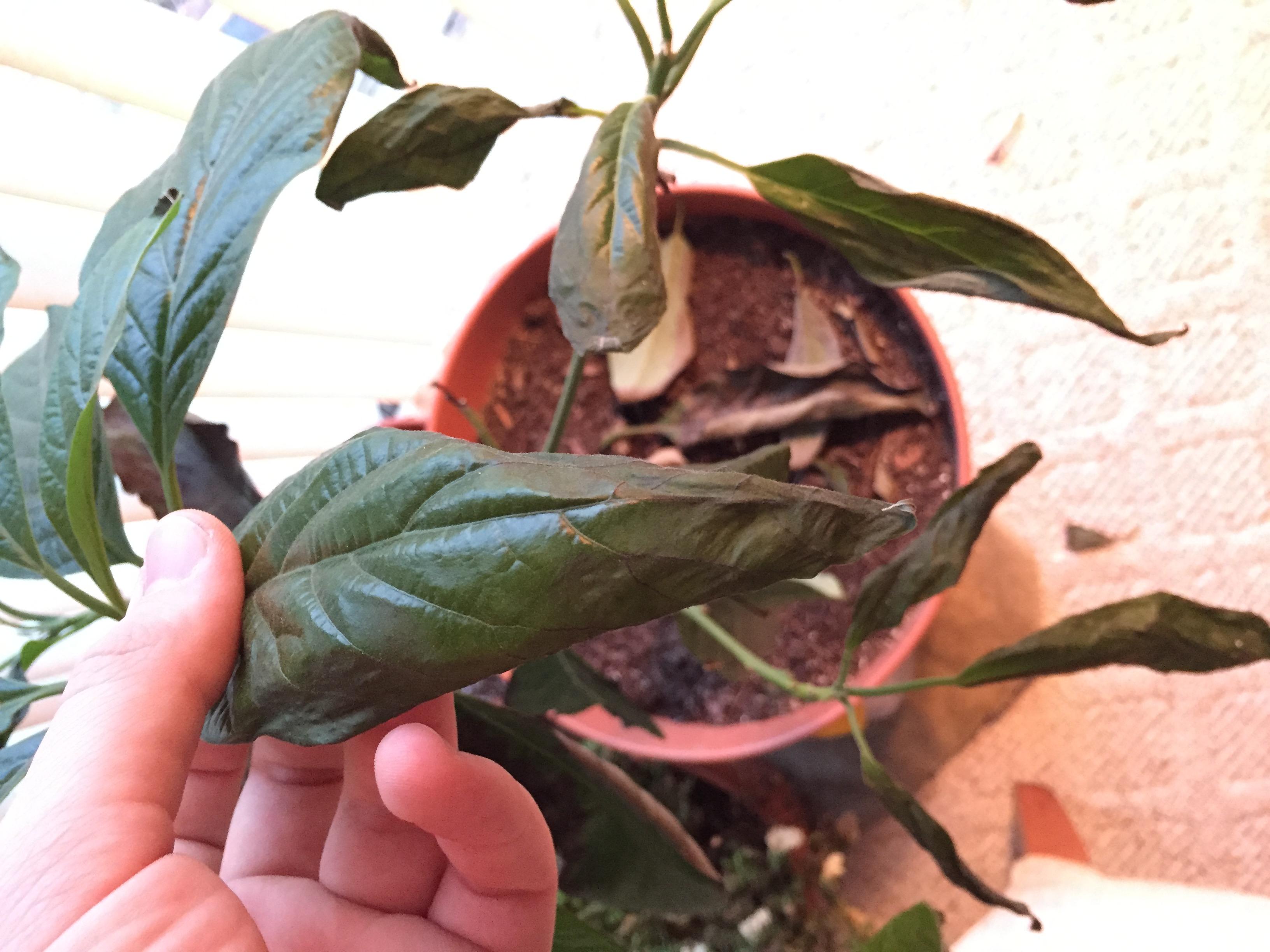Avocado Leaves Curling Up Helpfulgardenercom Gardening Forum