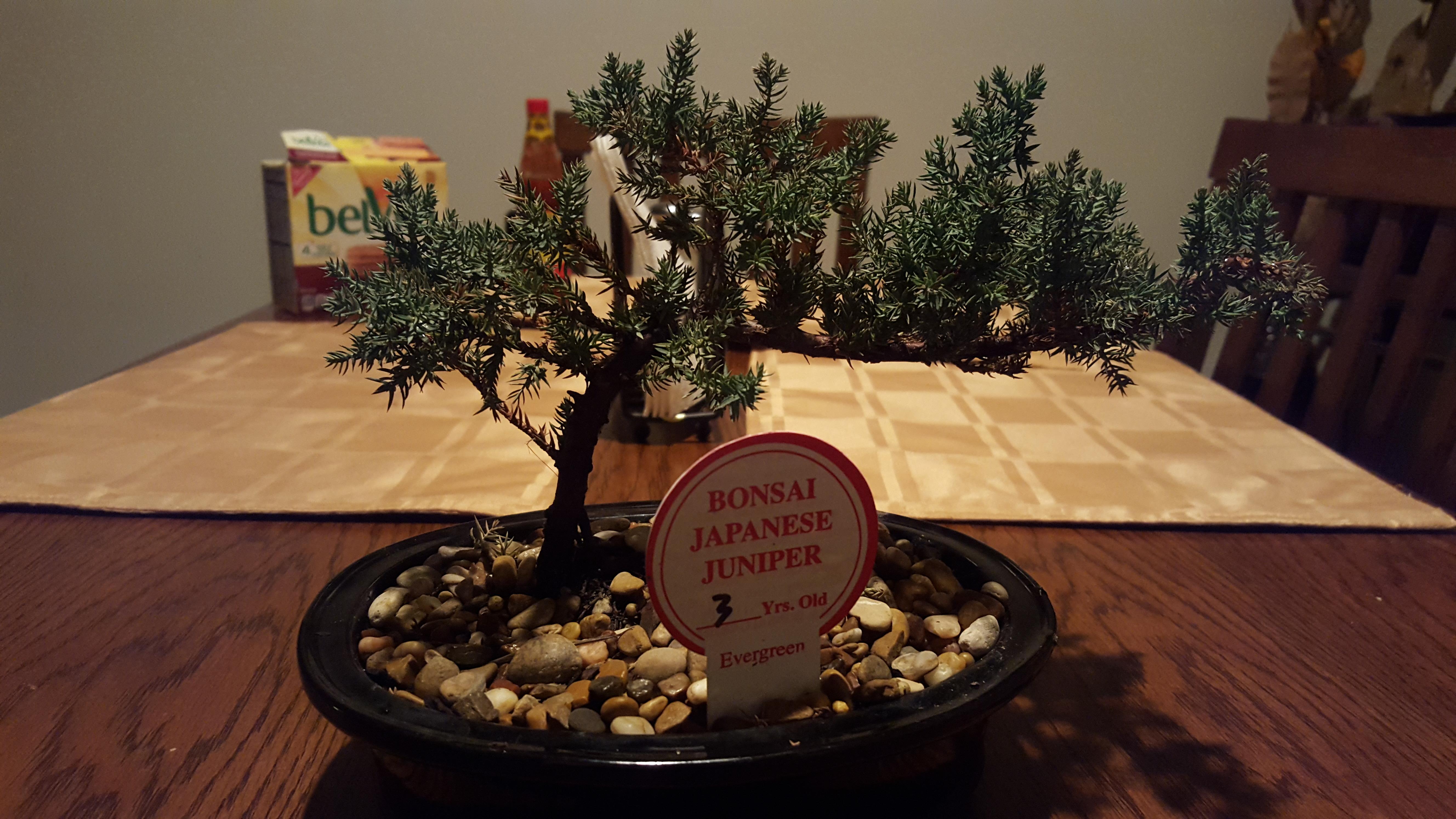 Urgent Bonsai Juniper tree turning brown please help
