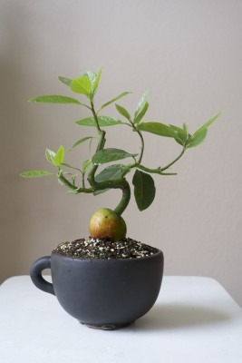 avocado tree as indoor bonsai gardening forum. Black Bedroom Furniture Sets. Home Design Ideas
