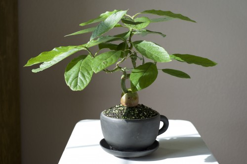 avocado tree as indoor bonsai. Black Bedroom Furniture Sets. Home Design Ideas
