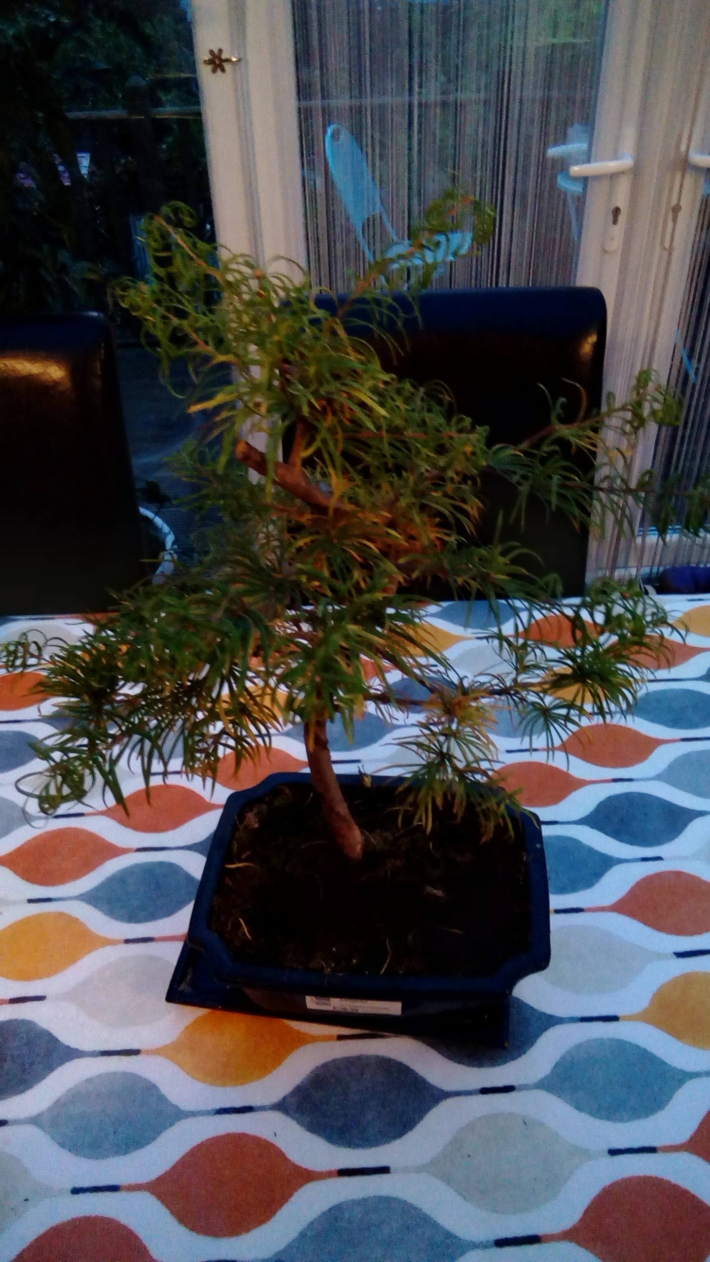Help To Identify My Bonsai Please Helpfulgardener Com