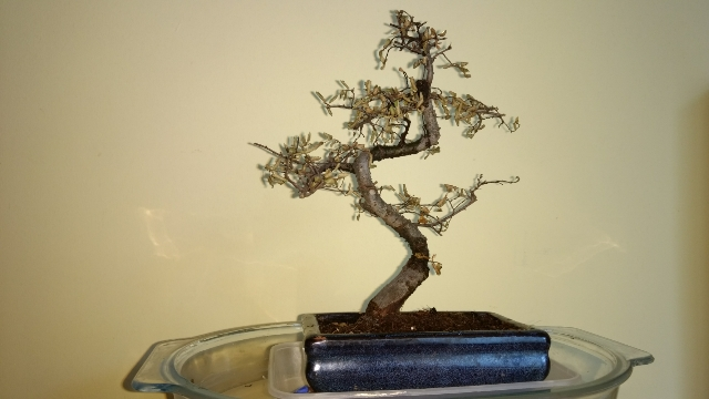 Chinese Elm Bonsai Leaves Curling And Turning Brown Helpfulgardener Com