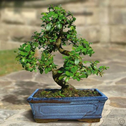 what type of bonsai tree is this gardening forum. Black Bedroom Furniture Sets. Home Design Ideas