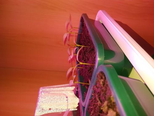 Are My Bell Pepper Seedlings Ok Helpfulgardener Com