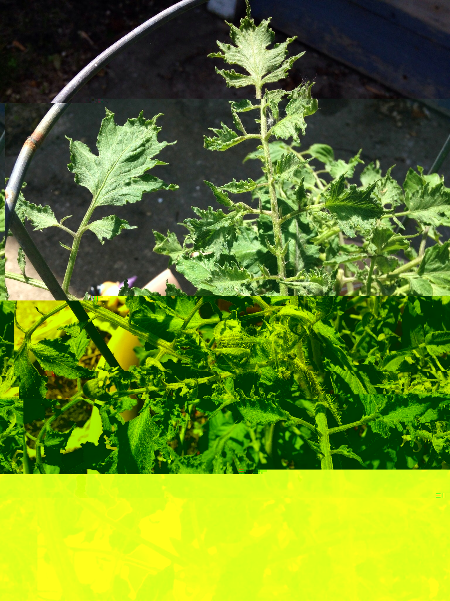 Tomato Leaves Curling And Wilting No Other Bad Stuff