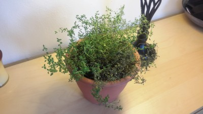 Indoor thyme dying from one side! • HelpfulGardener com