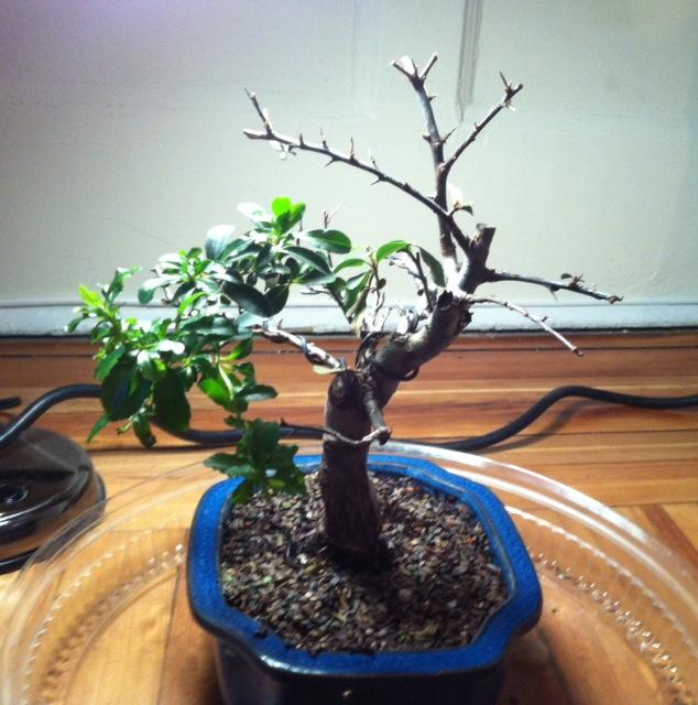 Bonsai Tree Is Losing Leaves Bonsai Tree