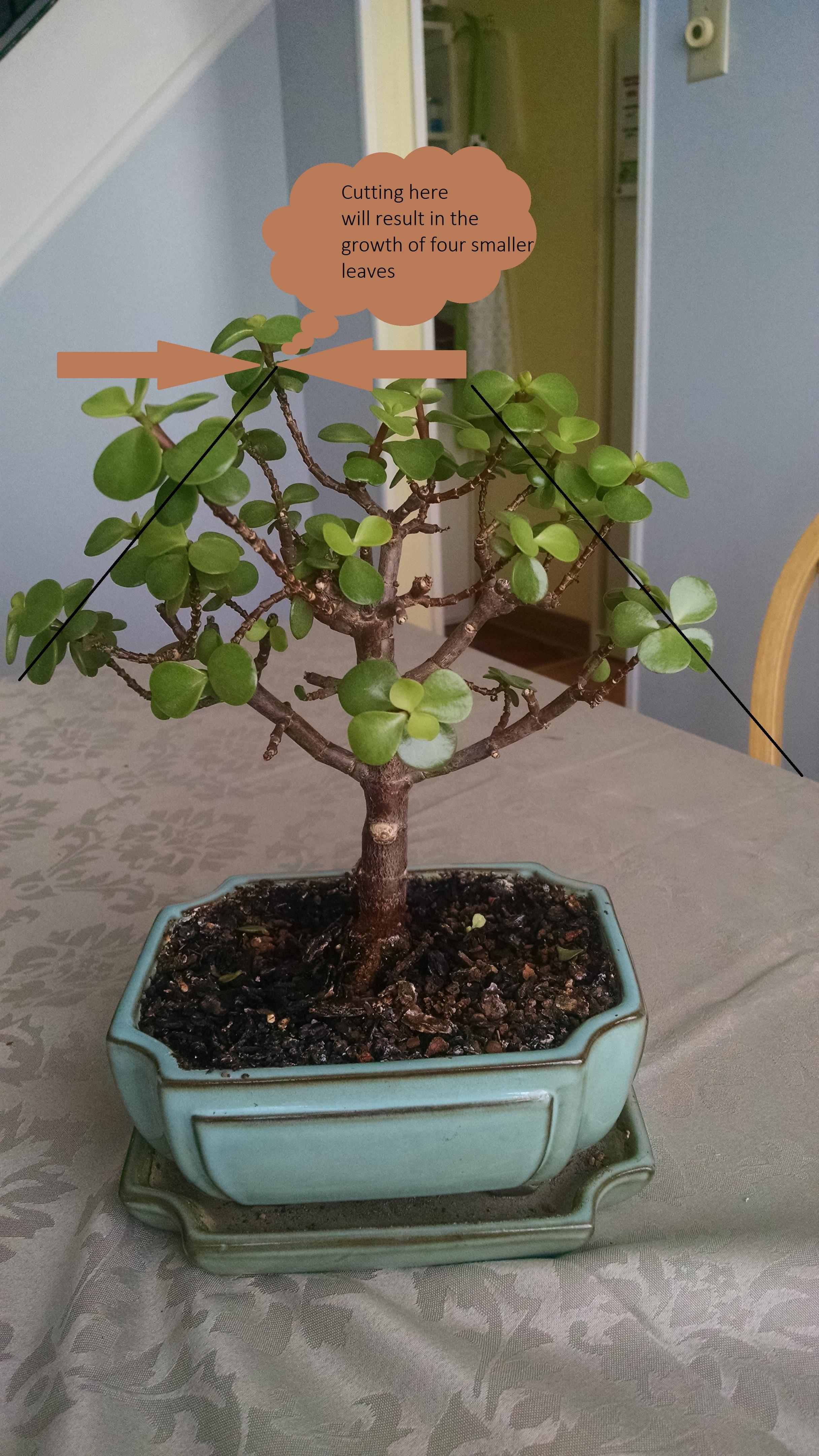 How Should I Prune My Jade Bonsai Helpfulgardener Com